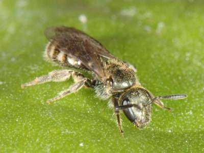 Lasioglossum morio [Famille : Apidae]