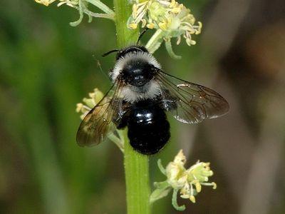 Andrena cineraria [Famille : Apidae]