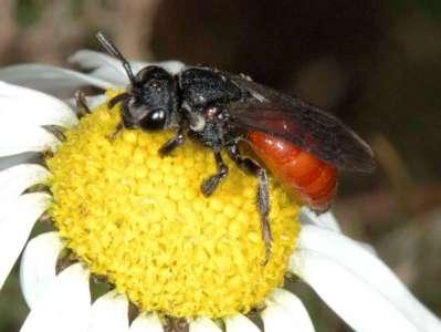 Sphecodes albilabris [Famille : Apidae]