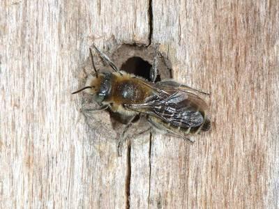 Hoplitis (Hoplitis) adunca [Famille : Apidae]