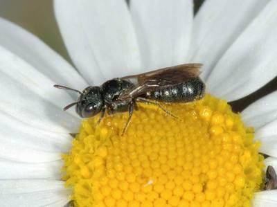 Ceratina cyanea [Famille : Apidae]