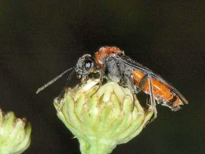 Dolerus germanicus [Famille : Tenthredinidae]