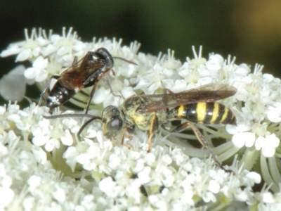 Gorytes quinquecinctus [Famille : Crabronidae]