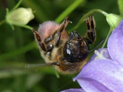 Megachile willughbiella [Famille : Apidae]