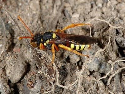 Nomada fucata [Famille : Apidae]