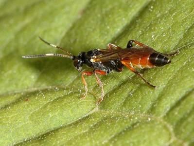 Barichneumon heracliana [Famille : Ichneumonidae]