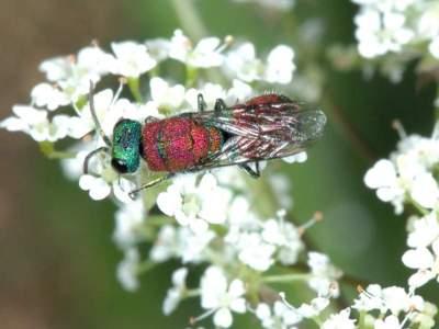 Chrysis viridula [Famille : Chrysididae]