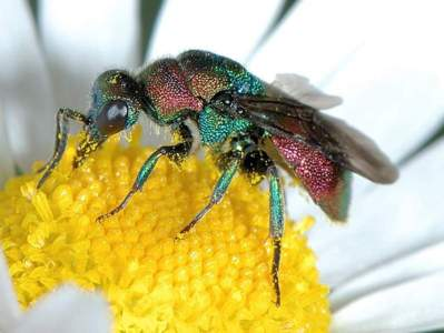 Hedychrum rutilans [Famille : Chrysididae]
