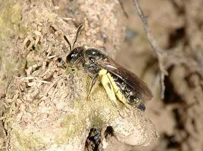 Lasioglossum species 02 [Famille : Apidae]