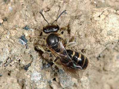 Lasioglossum species 03 [Famille : Apidae]
