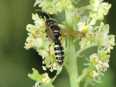 Cerceris quinquefasciata [Famille : Crabronidae]