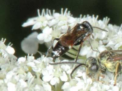 Harpactus species [Famille : Sphecidae]