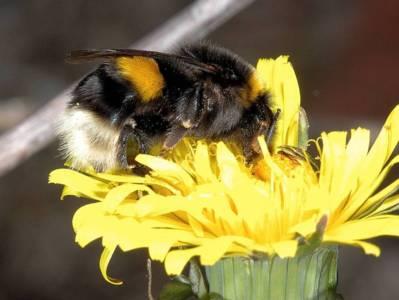 Bombus (groupe) terrestris [Famille : Apidae]