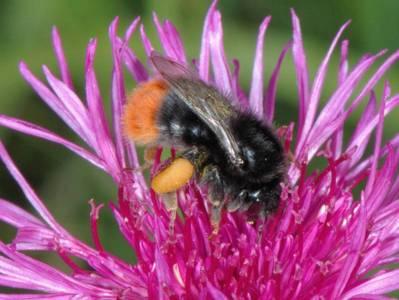 Bombus lapidarius [Famille : Apidae]