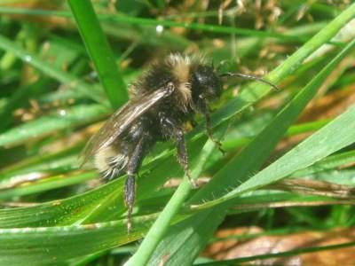 Bombus (Psithyrus) sylvestris [Famille : Apidae]