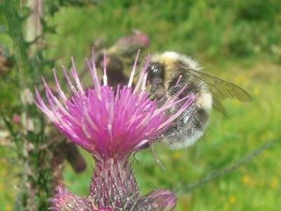 Bombus lucorum [Famille : Apidae]