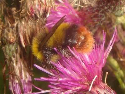 Bombus pratorum [Famille : Apidae]