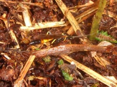 Ichneumon confusor [Famille : Ichneumonidae]