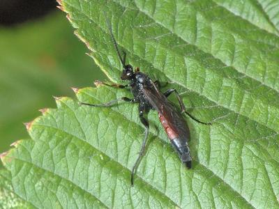Stenobarichneumon citator [Famille : Ichneumonidae]