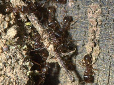 Tetramorium caespitum [Famille : Formicidae]