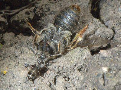 Formica (Serviformica) fusca [Famille : Formicidae]