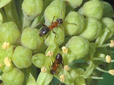 Lasius emarginatus [Famille : Formicidae]