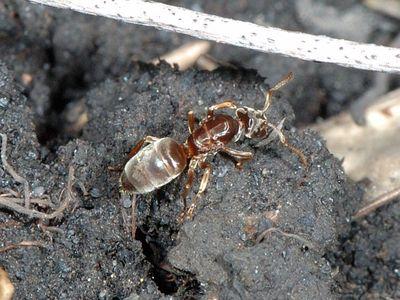Lasius (Chthonolasius) mixtus [Famille : Formicidae]