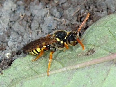 Nomada marshamella [Famille : Apidae]