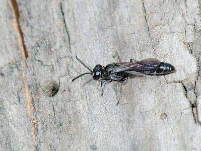 Trypoxylon species [Famille : Crabronidae]
