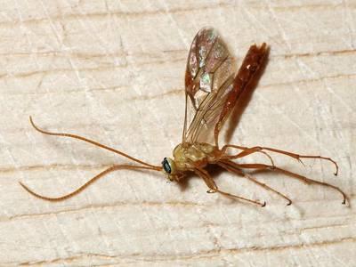 Ophion minutus [Famille : Ichneumonidae]