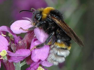 Bombus (Psithyrus) vestalis [Famille : Apidae]