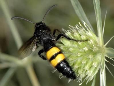 Scolia hirta [Famille : Scoliidae]