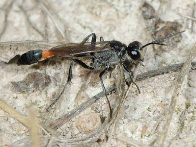 Ammophila species [Famille : Sphecidae]