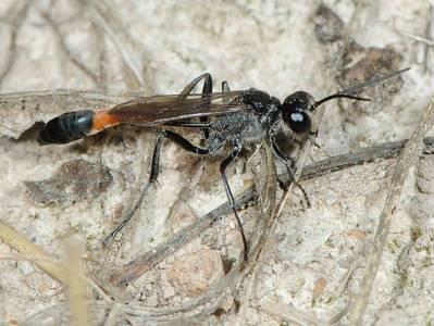 Ammophila species [Famille : Sphecidae]