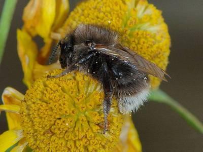 Bombus hypnorum ericetorum [Famille : Apidae]