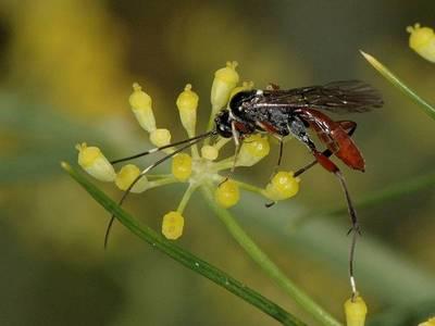 Exetastes adpressorius [Famille : Ichneumonidae]