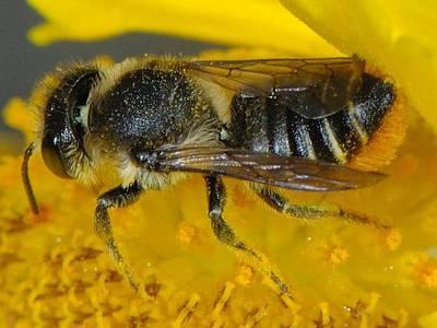 Megachile centuncularis [Famille : Apidae]