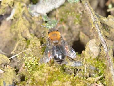 Andrena clarkella [Famille : Apidae]