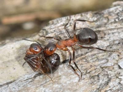 Formica (Formica) polyctena [Famille : Formicidae]