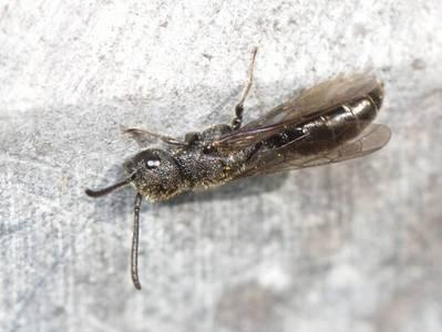 Sapygina decemguttata [Famille : Sapygidae]