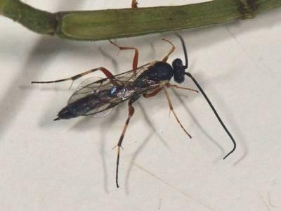 Hyposoter species [Famille : Campopleginae]