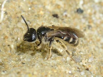 Lasioglossum (Evylaeus) marginatum [Famille : Halictidae]