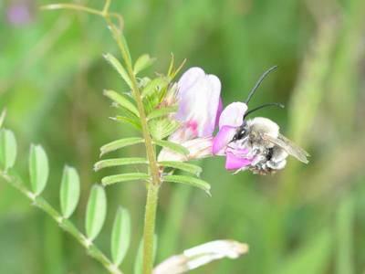 Eucera nigrescens [Famille : Apidae]