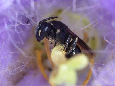 Hylaeus pectoralis [Famille : Apidae]
