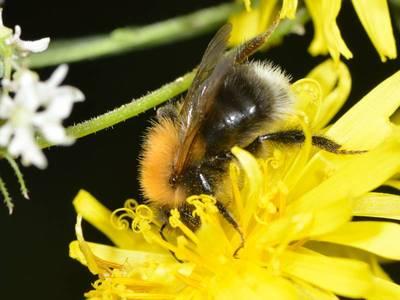Bombus (Pyrobombus) hypnorum [Famille : Apidae]