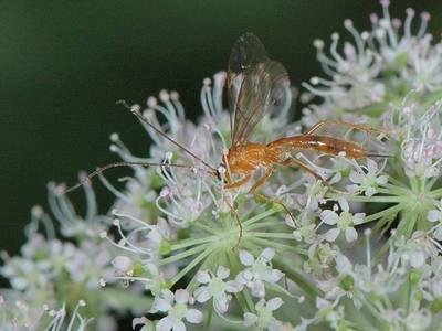 Netelia sp [Famille : Ichneumonidae]