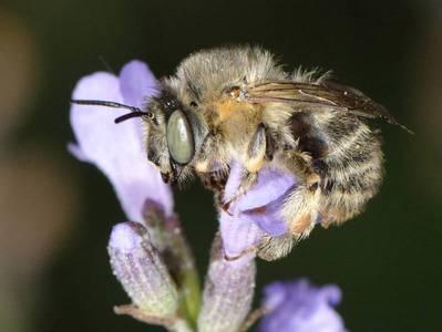 Anthophora quadrimaculata [Famille : Apidae]