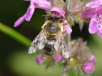 Anthophora furcata [Famille : Apidae]