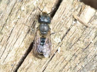 Osmia caerulescens [Famille : Apidae]