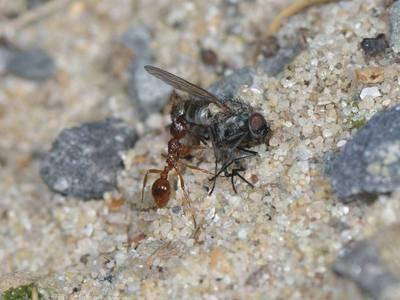 Myrmica rubra [Famille : Formicidae]